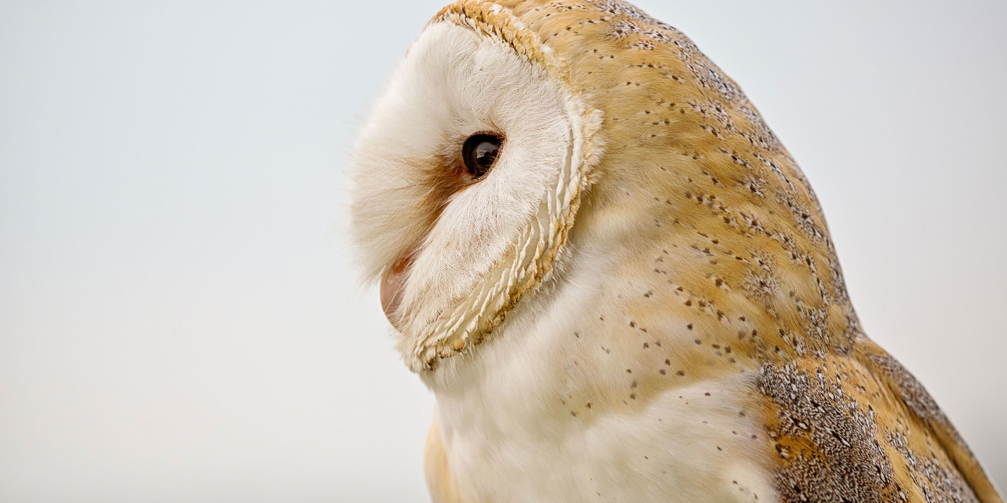 Could barn owls be key to cure for deafness?