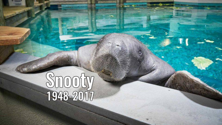 Snooty dead: World's oldest known manatee dies aged 69 in 'heartbreaking accident'