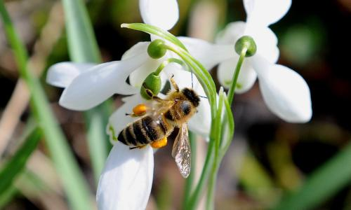 Honey bee research<br>EMBARGOED TO 1700 THURSDAY MAY 22 File photo dated 13/3/2014 of a honey bee collecting pollen from snowdrops in Teesdale, County Durham. Honey bees's foraging preferences can provide valuable information for governments about how to better manage rural landscapes, according to new research. PRESS ASSOCIATION Photo. Issue date: Thursday May 22, 2014. In the past two decades, the European Union has spent 41 billion euros ( 33.4 billion) on agri-environment schemes (AES), which aim to improve the rural landscape by bringing in changes such as the creation of areas for wildlife around crop fields. There are different levels of AES, although few studies exist evaluating how wildlife responds to the schemes, researchers at the University of Sussex have said. See PA story ENVIRONMENT Bees. Photo credit should read: Owen Humphreys/PA Wire