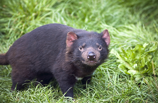 A Tasmanian devil (Thinkstock)