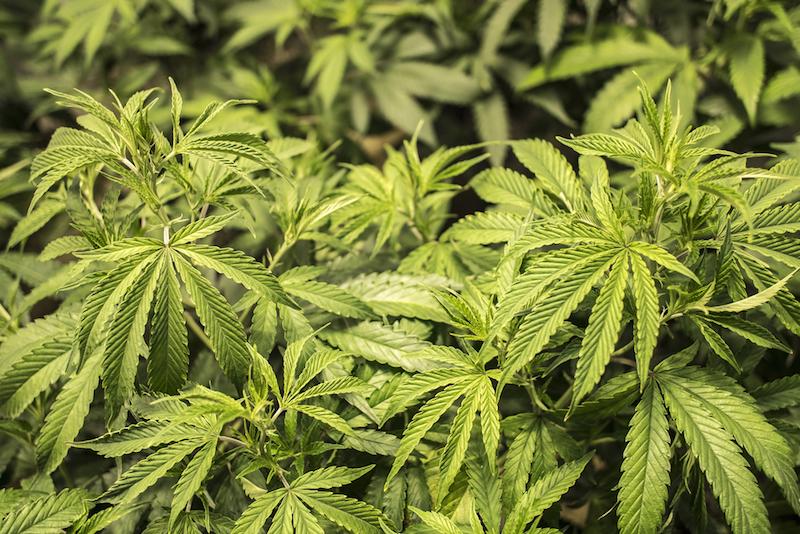 Marijuana use holds steady among youth