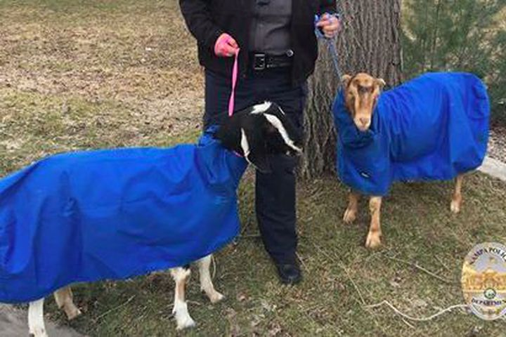 Someone lost a pair of Snuggie-clad goats, but it's OK because they were found