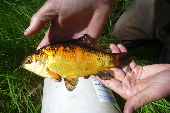 Goldfish, released into the wild, are somehow surviving in saltwater