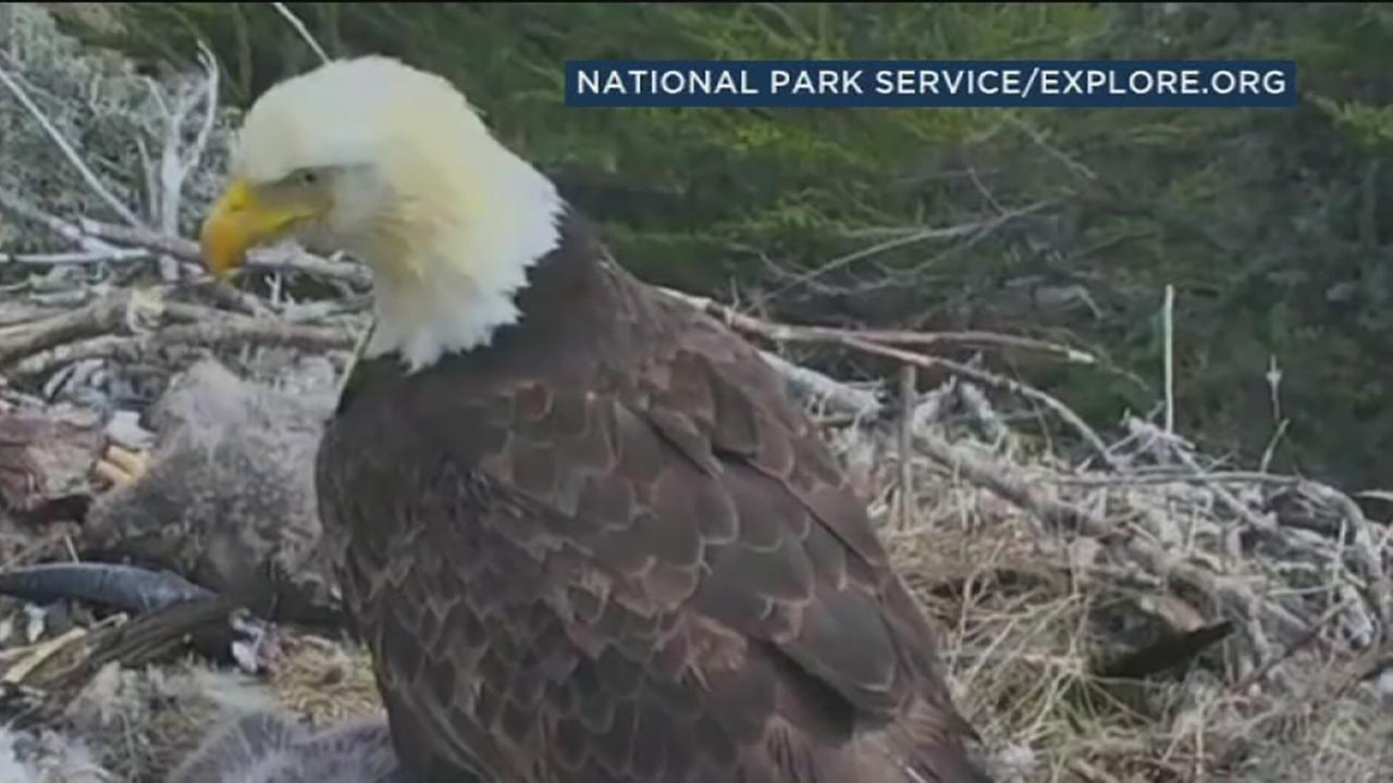 VIDEO: California earthquake rattles baby eagles in treetop nest