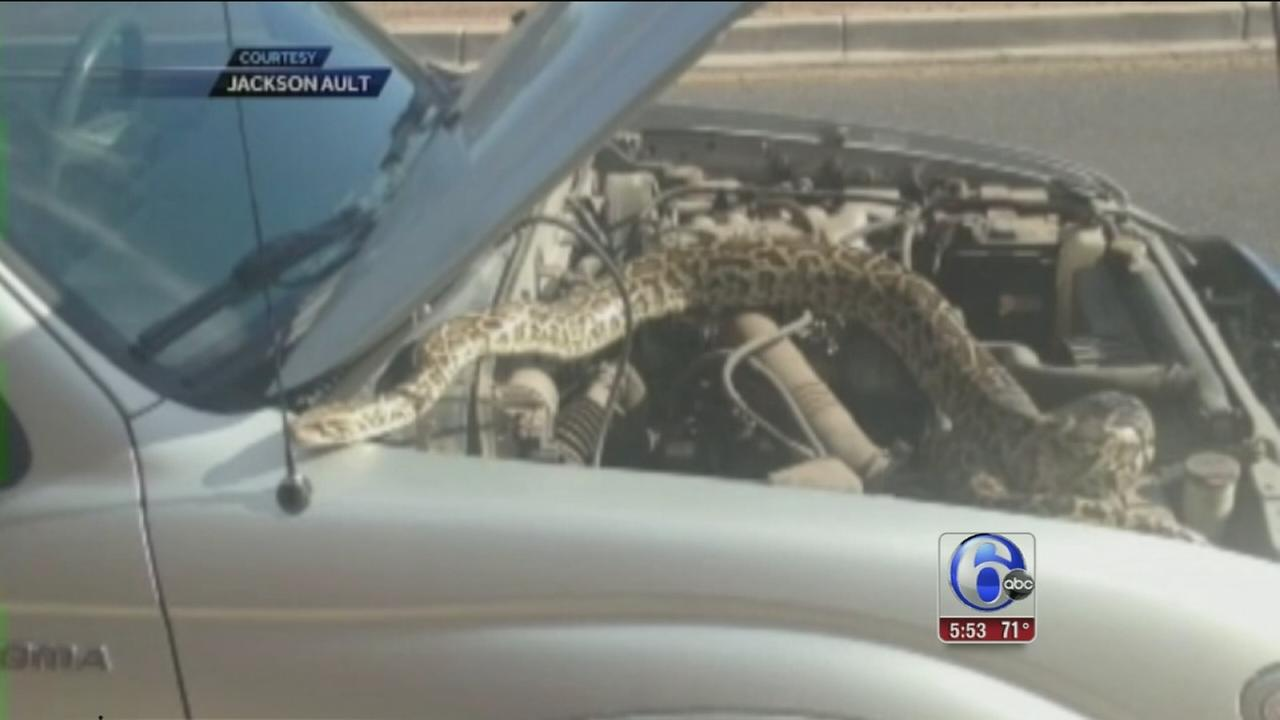 After car stalls, driver finds giant snake under the hood