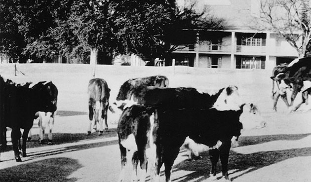 Cows wander Augusta National in the shaodw of the clubhouse. (Augusta National/Getty Images)