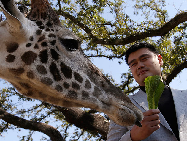 This is not Yao THE Giraffe, but rather Yao with A giraffe. I hope you'll forgive me. (AP/Pat Sullivan)