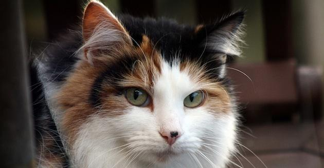 Genetic science gets applied to feline ancestry and breed identification