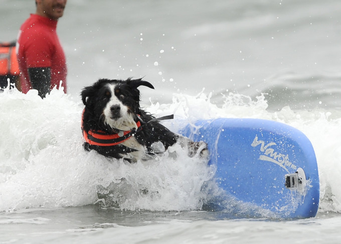 Somehow, the story of a Bernese Mountain Dog competing in a surfing contest was not one of the most-shared.