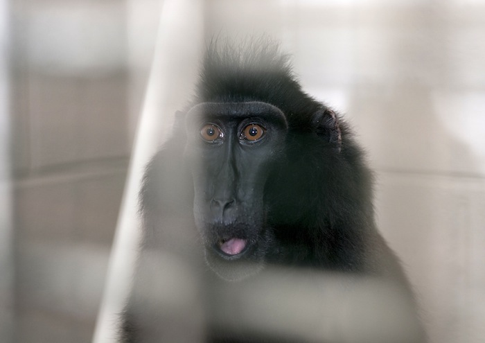 One of two macaques that were captured and taken to Columbus Zoo