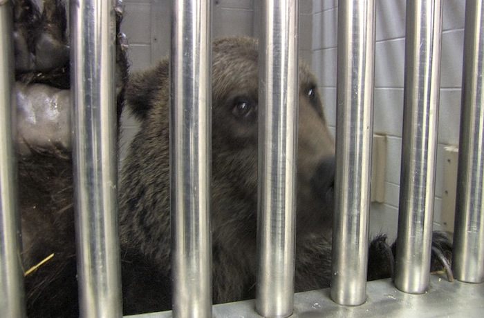 A captured grizzly bear behind bars at Columbus Zoo and Aquarium (AP)