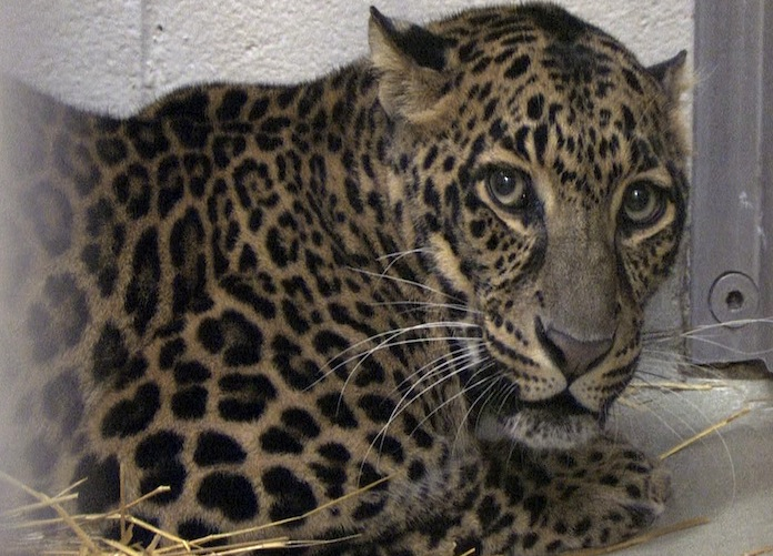 One of three surviving leopards (AP)
