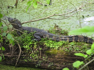 Steve Gustafson wrestled an alligator like the one seen in this photo to save his pet dog (Yahoo! contributor network)