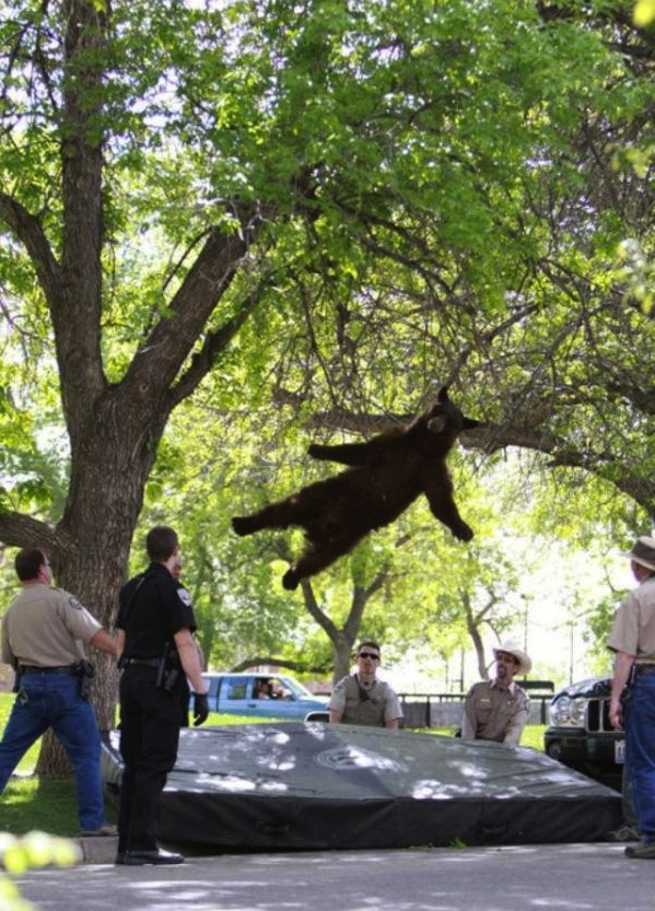 A young bear is seen falling from a tree after being tranquilized. (Andy Duann/CU Independent)