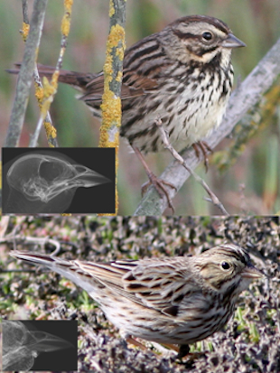 The Smithsonian compared bill size among sparrows to see how it affected mating habits. (Ray Danner)