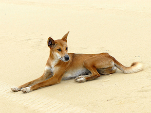 An Australian dingo in the wild (Wikicommons)
