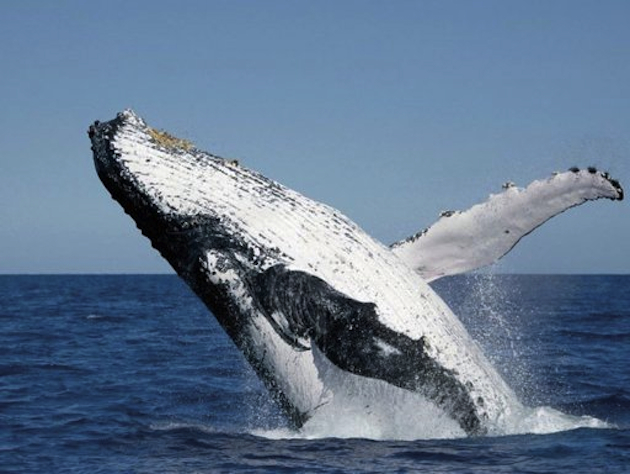 The terrorist attacks of September 11, 2001 had unexpected affects around the world, including on whales (AP)