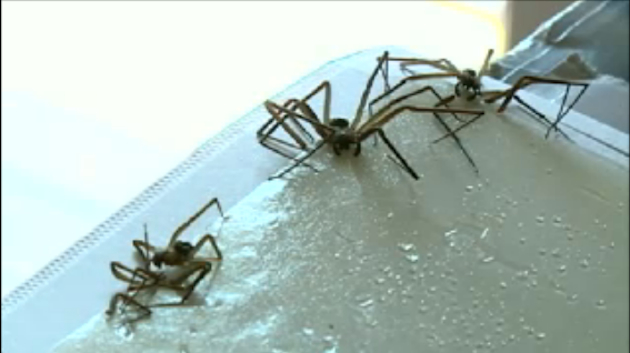 Some of the brown recluse spiders inside Baumann's apartment (KETV)
