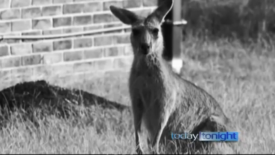 Eastern gray kangaroo attacks are reportedly on the rise in Australia (Image: Today, Tonight)