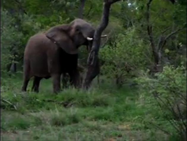 An elephant knocks over a tree in Kruger National Park. (YouTube)