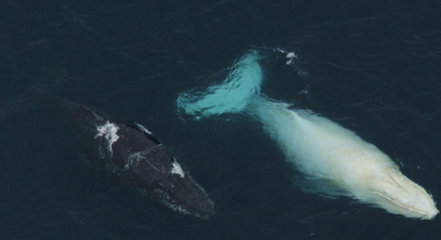 Migaloo is seen swimming with another whale. (White Whale Research Centre)
