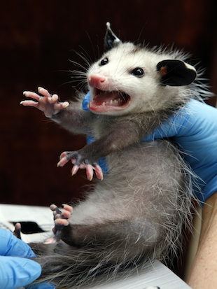 The American opossum is invulnerable to nearly all forms of poison. (Damian Dovarganes/AP)