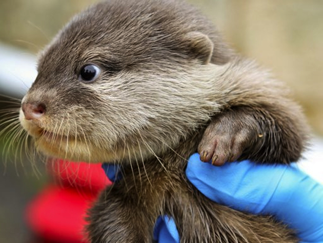 A sea otter recently born into captivity (Australian Associated Press)