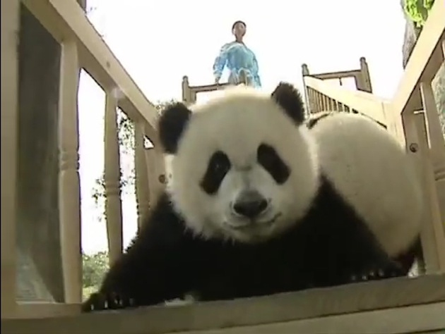 A baby panda slides at Changdu Panda Base. (YouTube)
