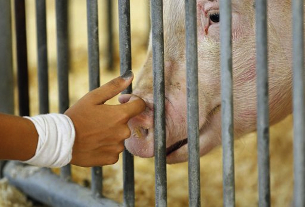 A pig at the 2012 Ohio State Fair in Columbus (Kyle Robertson, Columbus Dispatch/AP)