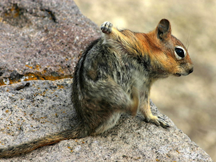 A squirrel scratches itself (Wikicommons)