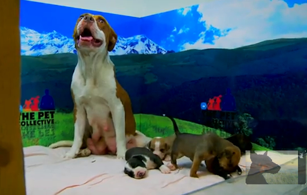 Hope and her litter of six pit bull puppies (Pet Collective)