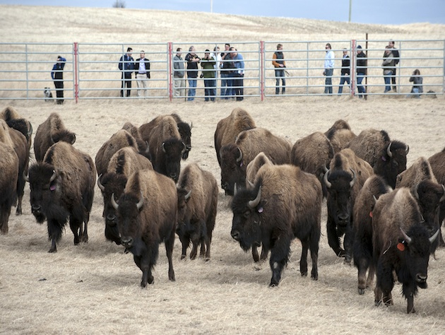 Bison at the Fort Peck Reservation in Montana (Ted Wood, TheStoryGroup/AP)