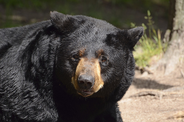 A black bear (Thinkstock)