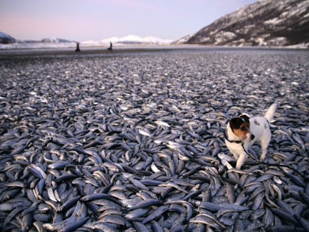 Molly the dog discovers 20 tons of herring on a Norwegian beach