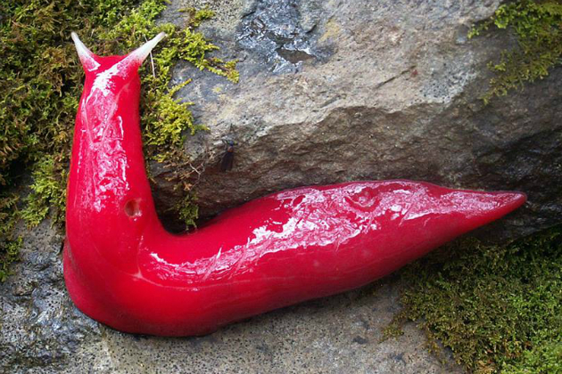 giant-pink-slug.jpg