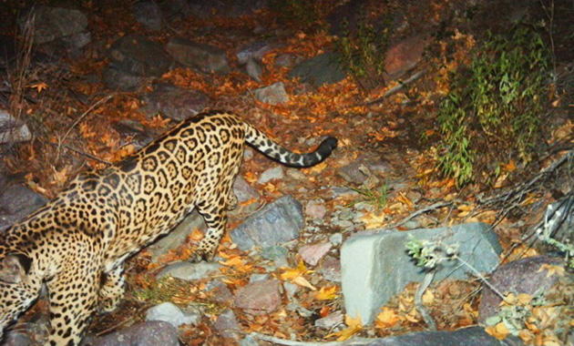 Jaguar captured by a motion-detector camera (Fish & Wildlife Service)