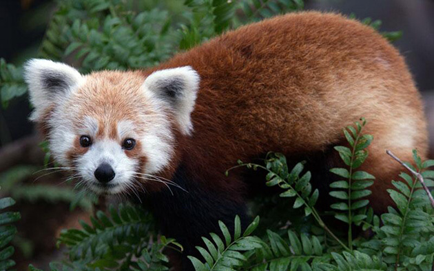 Rusty the missing red panda (National Zoo's Twitter feed)