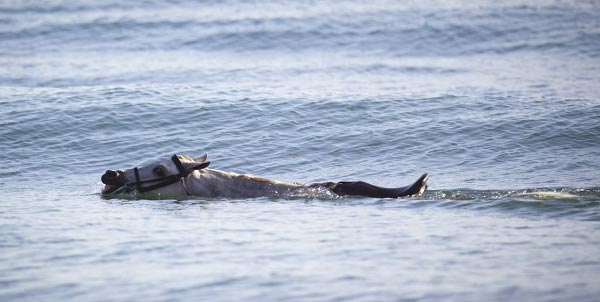 William, an Arabian horse, swimming of the Central Coast of California (April Visel/KSBW)