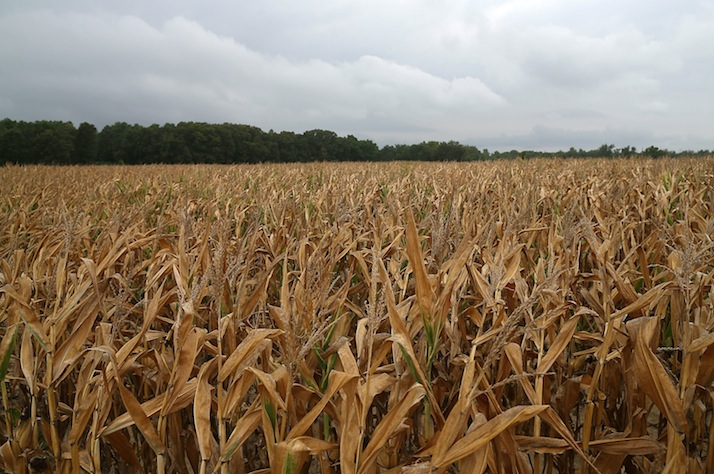 Cornstalks suffering from drought conditions are seen on a farm in Mechanicsville, Md. (Mark Wilson/Getty Images)
