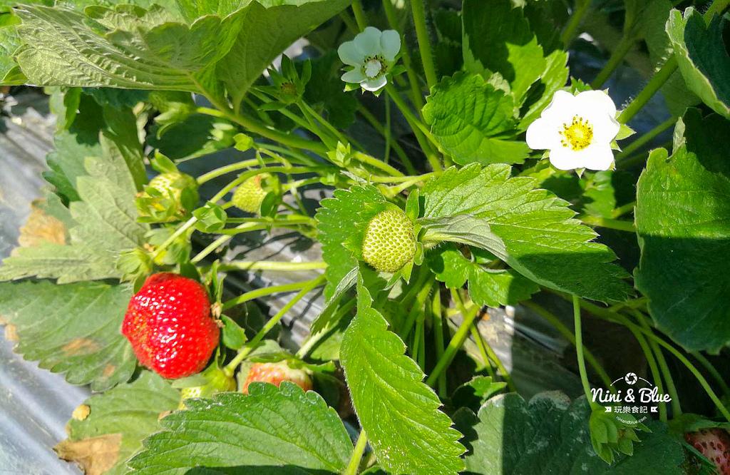 草莓世界.台中採草莓06