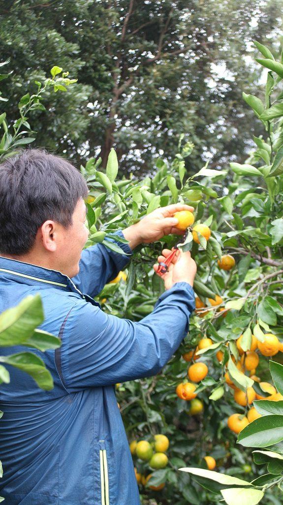 濟州島 享受橘子採收的樂趣