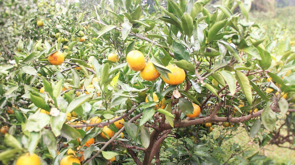 濟州島 黃澄澄的橘子