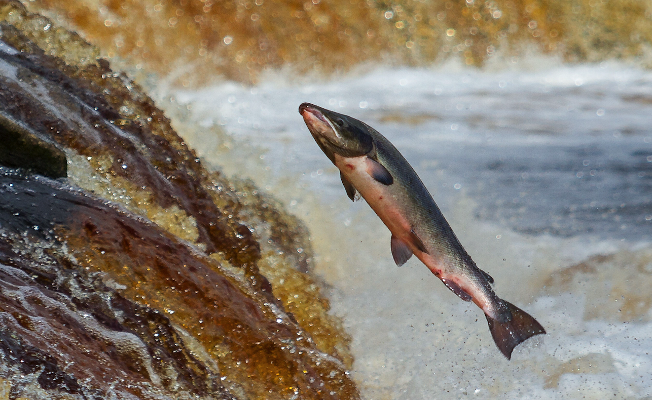 Parasitic sea lice are causing a global salmon shortage
