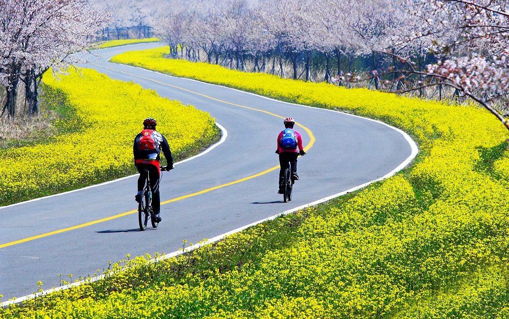 在粉嫩櫻花和活力油菜花中騎車暢遊 圖片提供:濟州觀光公社