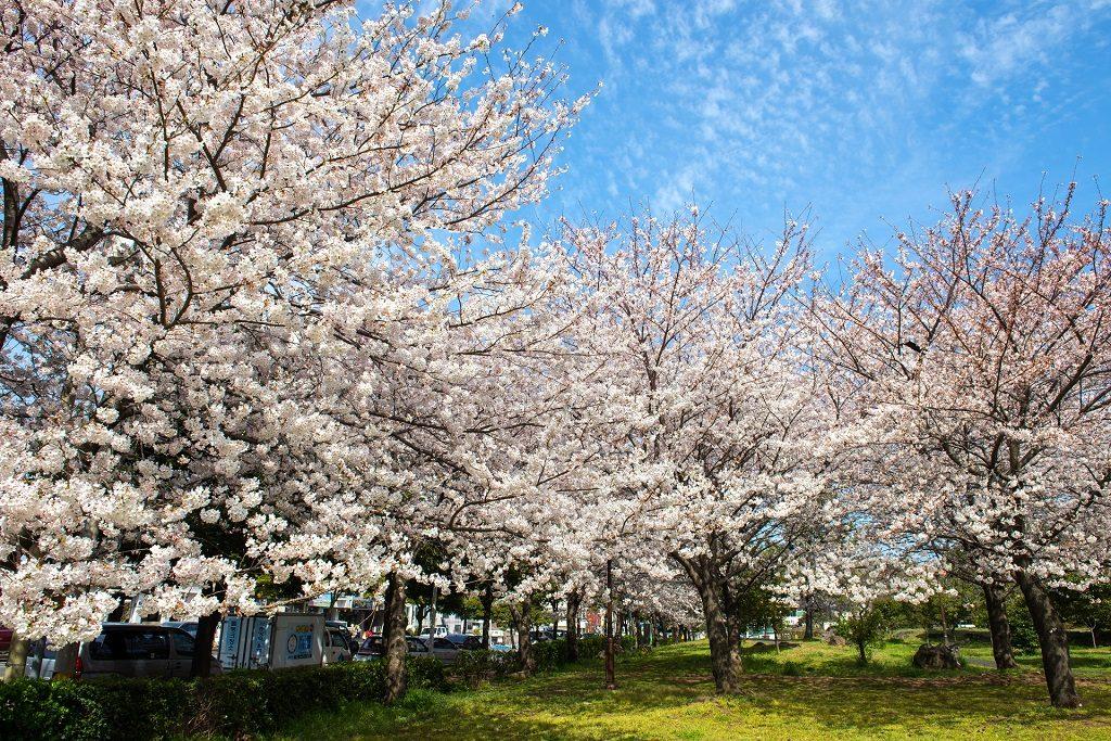 櫻花爛漫的綻開著 圖片提供:濟州觀光公社
