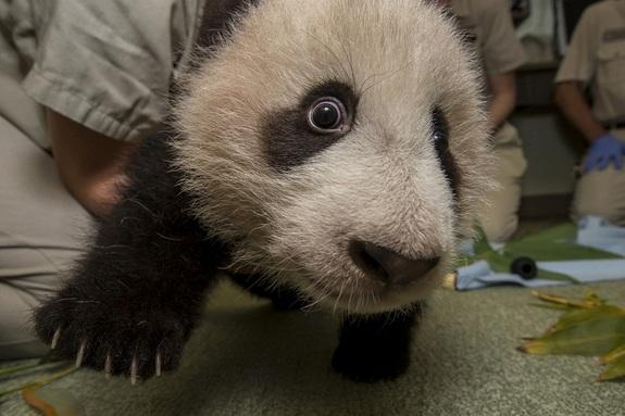 Sleepy Panda Cub Gets Stronger