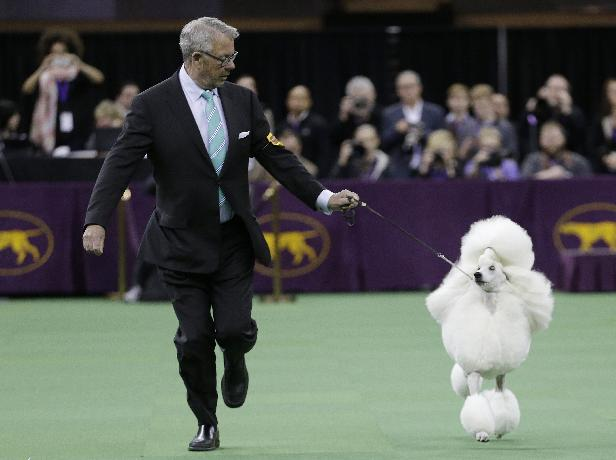 Allie, a poodle, competes with other dogs in the Non-Sporting group during the 138th Westminster Kennel Club dog show, Monday, Feb. 10, 2014, in New York. Allie won the group