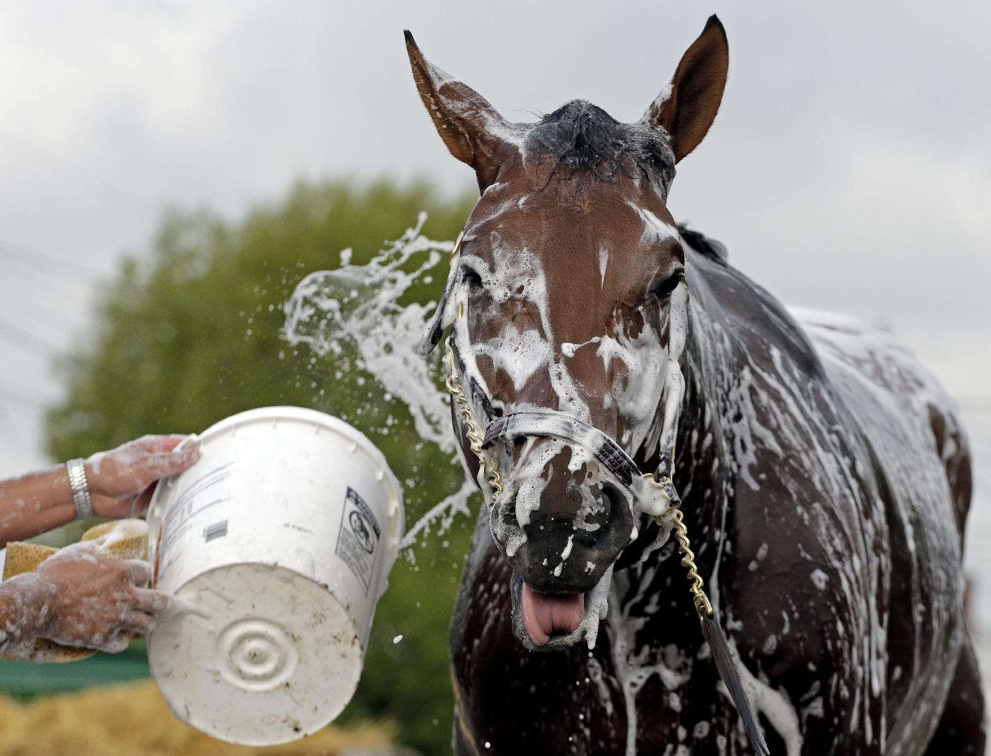 Kentucky Derby hopeful Candy Boy gets a bath after a morning workout at Churchill Downs Tuesday, April 29, 2014, in Louisville, Ky