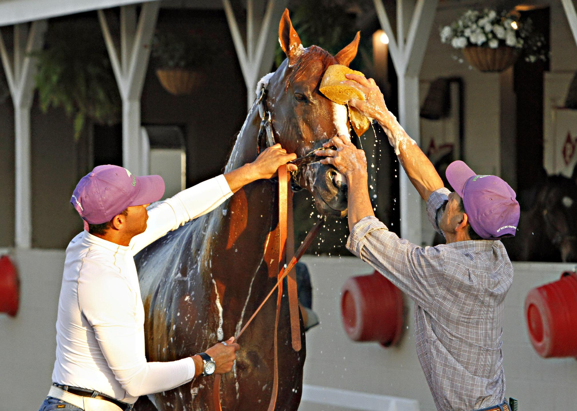 Kentucky Derby winner California Chrome reacts as groomer  Raul Rodriguez, right, gives him a bath after a jog on the track at Churchill Downs in Louisville, Ky., Wednesday, May 7, 2014. Holding the colt at left is exercise rider Willy Delgado