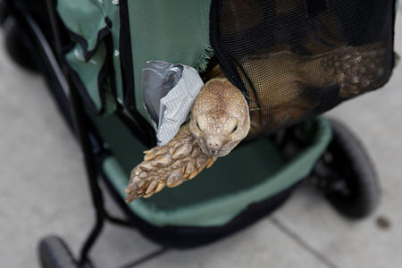 Tortoise in a baby stroller a novelty even for New Yorkers
